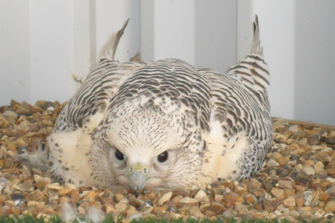 White Gyr Falcon Imprint Breeding Bird from UK Falcon Breeders
