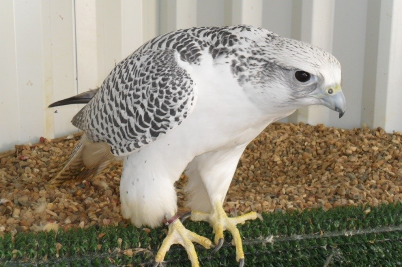 White Gyr Falcons For Sale - UK Falcon Breeder
