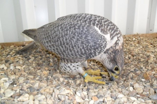 Silver Breeding Gyr Falcon from McKnight Falcon Breeders