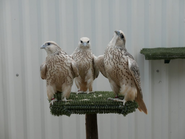 Baby GyrFalcons